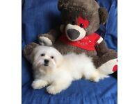 Cuddly gorgeous fluffy Maltese x Pekingese teddy like puppy cutest puppies now ready small dog