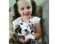 English bulldog puppies kc reg