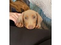 Miniature dachshund male Isabella and tan