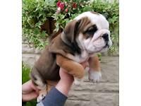 *** KC English Bulldog Puppies - READY NOW ***