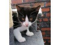 Kittens tuxedo black and white (Felix)