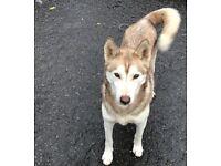 Tan Female Husky, 4 years old. *Please see update in description*
