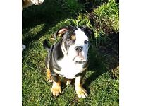 Beautiful Old English Bulldog, home reared, fully vaccinated