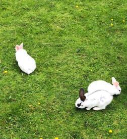 Baby rabbits English spot