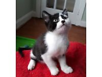 stunning litter of Black and White bi colour BSH x kittens