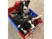 Male border collie puppys