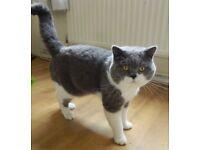 Beautiful british shorthair female kitten