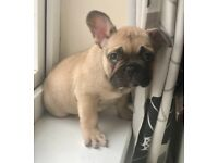 FEMALE French Bulldog KC Reg READY SUNDAY