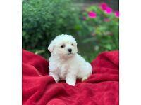 bichon maltese Puppy for sale
