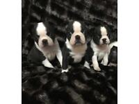 Pedigree Boston terriers