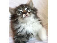 Beautiful Fluffy Maine Coon kitten