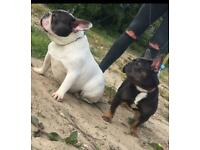 Adult Blue Tan Female French Bulldog