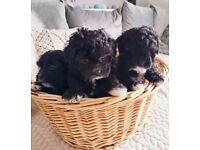Beautiful Shih Tzu x Bichon Frise puppies