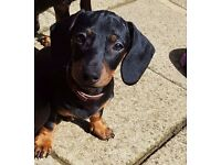 Lovely Dachshund Puppies For Sale