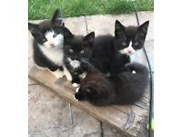 Lively affectionate fluffy Ragdoll X Burmese X Kittens looking for their forever homes