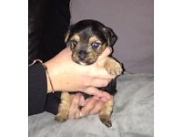 Beautiful chorkie puppies for sale