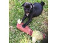 Beautiful girl baby pug and ready now