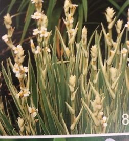 Sisyrinchium striatum 'Aunt May'