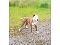 American bulldog x staff pups for sale