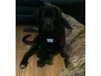 last one!!! cane corso puppy for sale