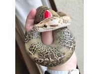 Cb16 male granite calico Burmese python