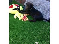 * Spaniel Springer */Terrier /puppy :)