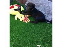 *Springer Spaniel/Terrier*Puppy;)