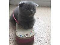 Beautiful Blue Pedigree Kittens