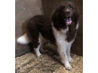 Extremely rare brown & white Newfoundland pup for sale