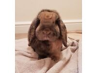 4 yr old House Rabbit - male, neutered with cage and run.