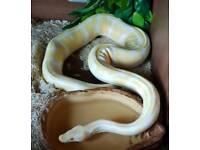 Beautiful Albino Royal Python For Sale