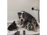 Two beautiful 8 week old English Bulldog puppies