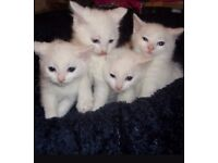 Kittens for sale 9 weeks old