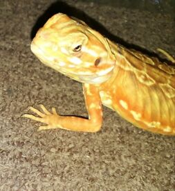 Silkback (Bearded Dragon) 5months old