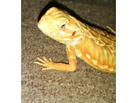 Young Rare Silkback (Bearded Dragon) 5months old and vivarium