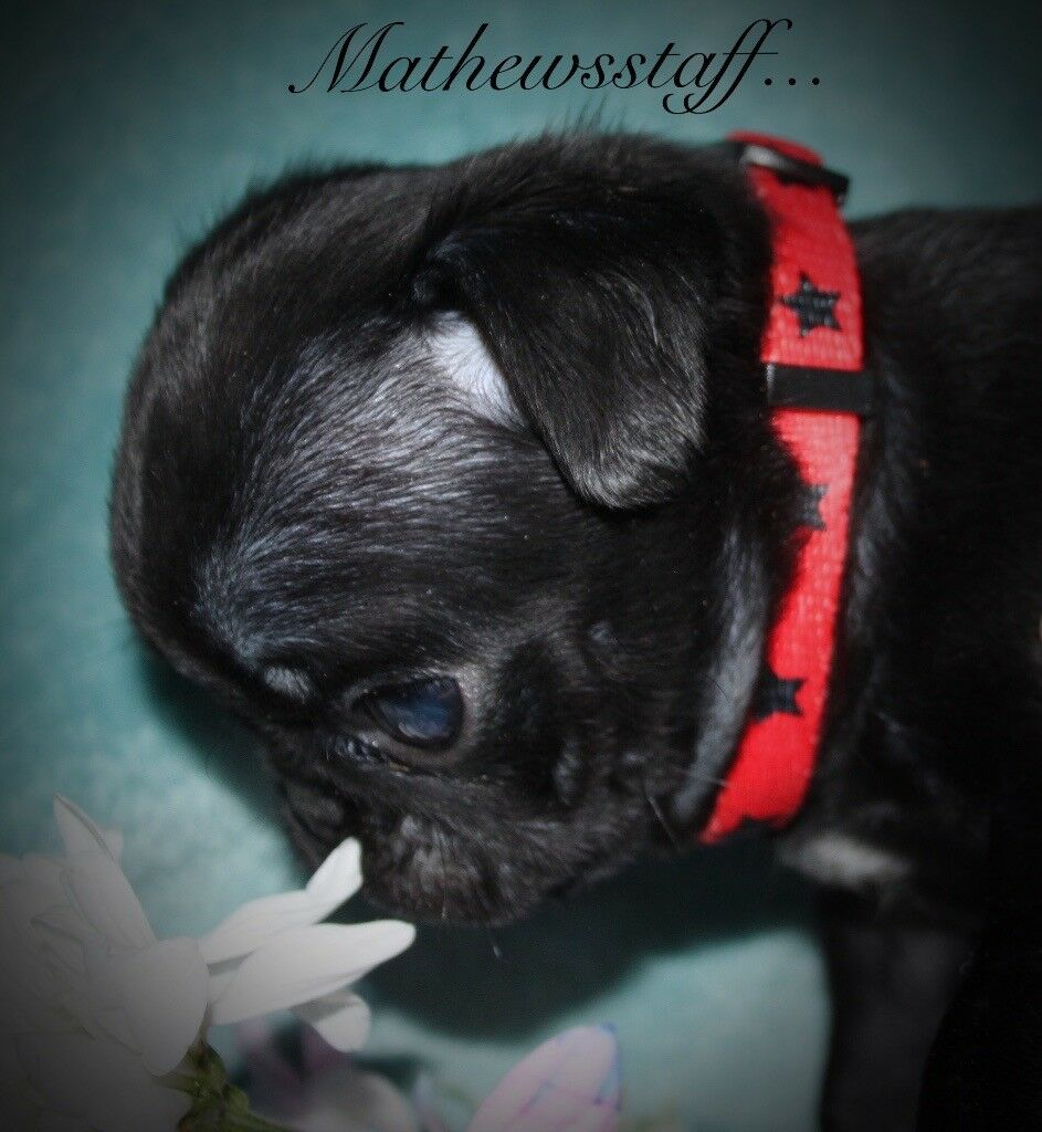 Kc reg pde clear pug puppies in hodge hill west midlands gumtree kc reg pde clear pug puppies nvjuhfo Images