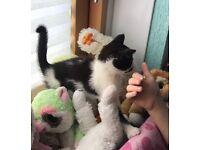 nice black and white male kitten