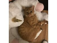 Lost Ginger Cat, Dunlady area Dundonald