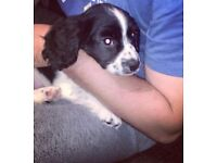 Spaniel Dogs Puppies For Sale Gumtree