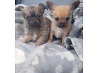 chihuahua puppies miniatuers