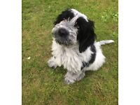 RARE BLUE ROAN COCKAPOO PUPPY FOR REHOME