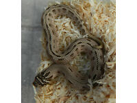 male western hognose