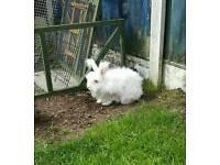 Angora male bunny
