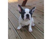 French Bulldog blue pied boy