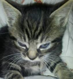 beautiful 2months kitten mix bengal