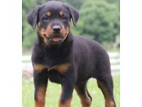 German Rottweiler puppy 8 weeks old ready to leave now £599