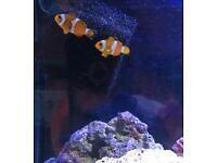 2 clownfish