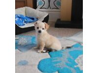 Ready to leave now!!! Only 2 left, loveable Pedigree Chihuahuas