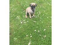 Boy pug Thorne colour