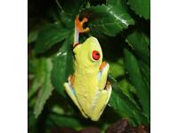 Red eye tree frog and set up